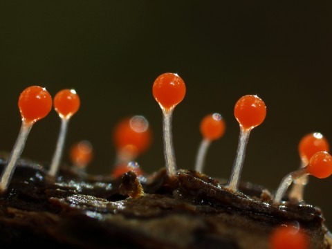 Takehiko Sato_Mysterious World – Magic Nature_Slime mold – Hemitrichia calyculata_height 3mm